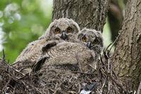 Baumbrut... Europäischer Uhu *Bubo bubo*, Jungvögel auf einem verlassenen Habichthorst