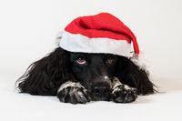 Beautiful female spaniel in a red cap of Santa Claus on white background