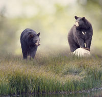 Two Black bears near water