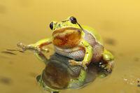 cute tree frog looking at the camera ( Hyla arborea