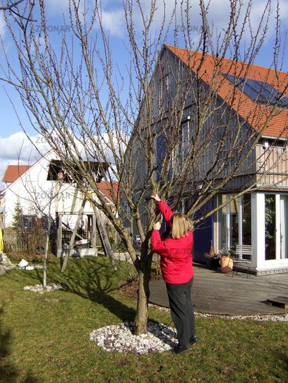 Foto Prunus Armeniaca Aprikosenbaum Apricot Bild 678390