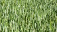 Getreidefeld im Frühjahr
