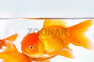 goldfish closeup in aquarium