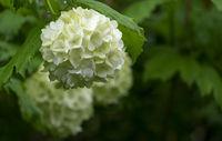 Gewöhnliche Schneeball (Viburnum opulus)