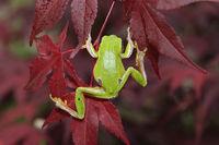 green tree frog climbing on leaves ( Hyla arborea )