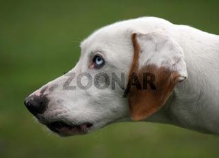 Schlittenhund - Hound