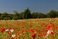 Mohnblumen im Getreidefeld 16
