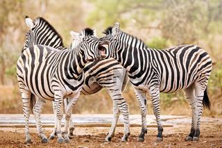 Steppenzebras, eins gähnt, Südafrika, Kruger Nationalpark, South Africa, Plains Zebra, one is tired, South Africa