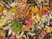 Laub der Eberesche im Herbst