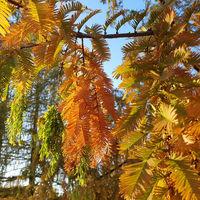 Herbstliche Zweige des Urweltmammutbaum im Abendlicht