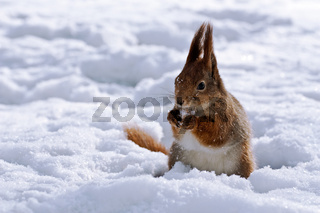Squirrel standing in snow