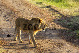Male lion walking on a gravel road on the savannah
