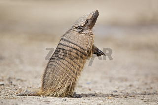 Guerteltier (Dasypodidae), Halbinsel Valdes, Argentinien, Amadillo, peninsula Valdes, Argentina