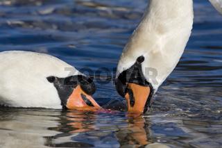 Hoeckerschwan, Portrait, Cygnus olor, Mute swan