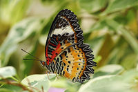 closeup of leopard lacewing butterfly ( Cethosia cyane )