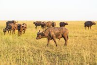 African buffalo on the savannah