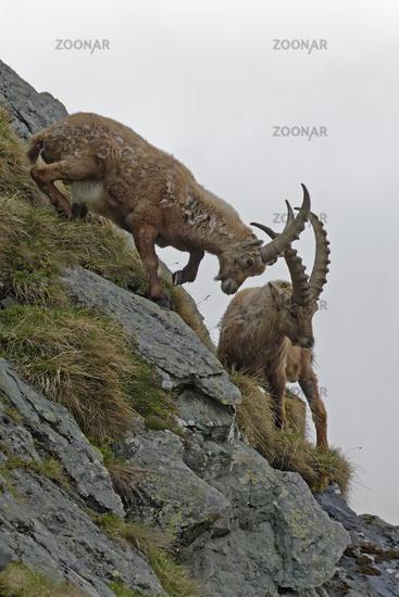 Kämpfende Alpensteinböcke (Capra ibex),Nationalpark Hohe Tauern, Kärnten, Österreich, Europa
