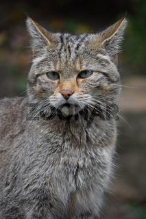 European wildcat portrait close up