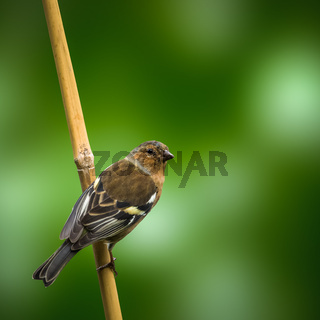 Chaffinch BIrd Against Green