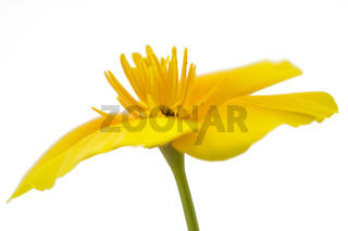 Kalifornischer Mohn (Eschscholzia californica), freigestellt