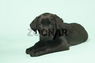 Chocolate Labrador puppy on green background