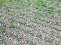 Getreide; Keimling, Jungpflanzen