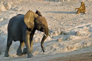 Junger Afrikanischer Elefant (Loxodonta africana) mit Steppenpavian, Pavian (Papio cynocephalus) am Chobe Fluss, Chobe River, Chobe National Park, Botswana, Afrika, young African Elephant and Yellow Baboon, Africa