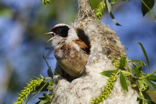 Beutelmeise, Remiz pendulinus, Eurasian penduline tit