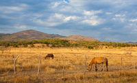 Farm animals on pasture on Trinidad countryside, Cuba