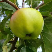 Fettapfel, Apfel, Malus, domestica, Alte Apfelsorte