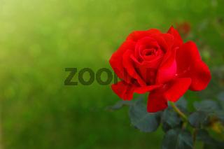 Red roses flower in the garden .