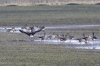 Graugänse auf einem überschwemmten Feld