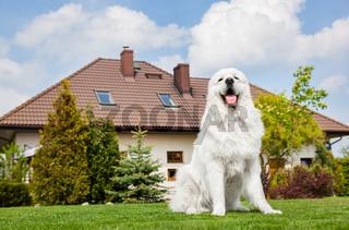 Big guard dog sitting in front of the house. Polish Tatra Sheepdog