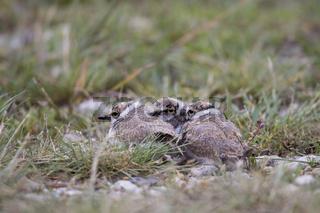 Flussregenpfeifer, Charadrius dubius, little ringed plover