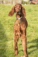 Young Irish Setter Puppy Pedigreed Purbred Dog Canine
