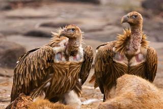 Himalayan Griffon Vulture, Gyps himalayensis, Panna Tiger Reserve, Rajasthan