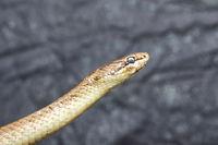 portrait of smooth snake over grey background ( Coronella austriaca )