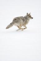 in schnellem Lauf... Kojote *Canis latrans*