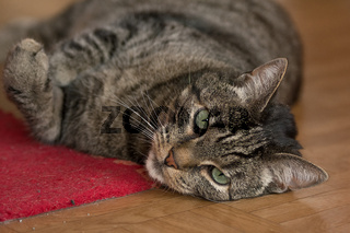 Eine grau getigerte Katze liegt auf dem Boden in einer Wohnung
