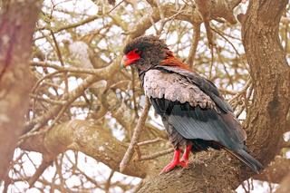 Gaukler, Kruger NP, Südafrika, Bateleur, Kruger NP, South Africa