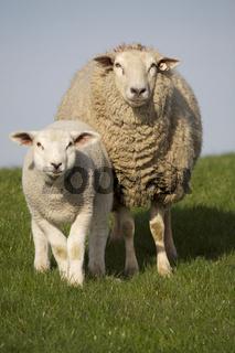 Hausschaf mit Lamm