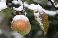 Apfelschnee