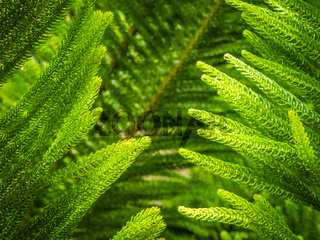 Giant fern detail