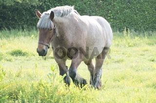 Grey-Brown horse in the open grass field near water