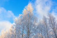 Birch forest with rime in the treetops