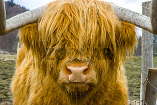 A beautiful orange haired highland cow