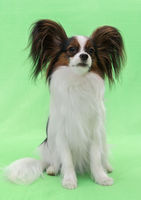 Beautiful young continental spaniel papillon on green background