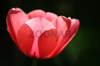Tulpe in pink