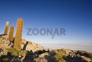 Kakteen auf der Insel Isla Incahuasi, Salzsee Salar de Uyuni, Altiplano, Bolivien, Suedamerika, Cactuses at Island Isla Incahuasi, salt lake Salar de Uyuni, Altiplano, Bolivia