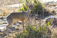 KIRK'S DIK-DIK male standing among the bushes at sunset